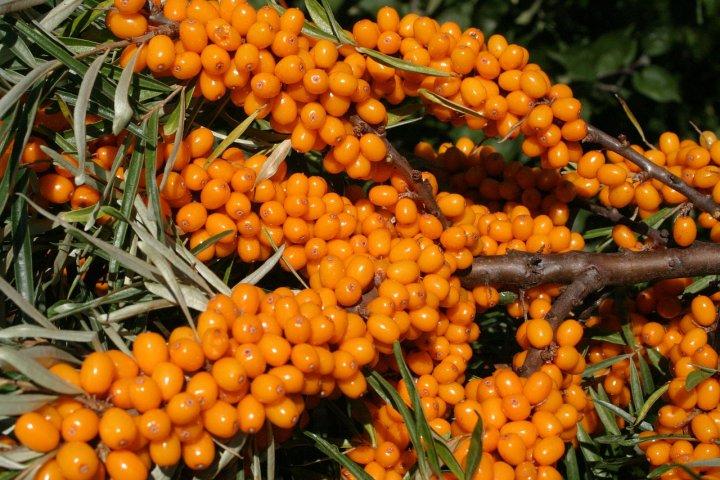 Rakytník řešetlákový lze sklízet už v srpnu. Víte, jak ho pěstovat a jak využít jeho plody?