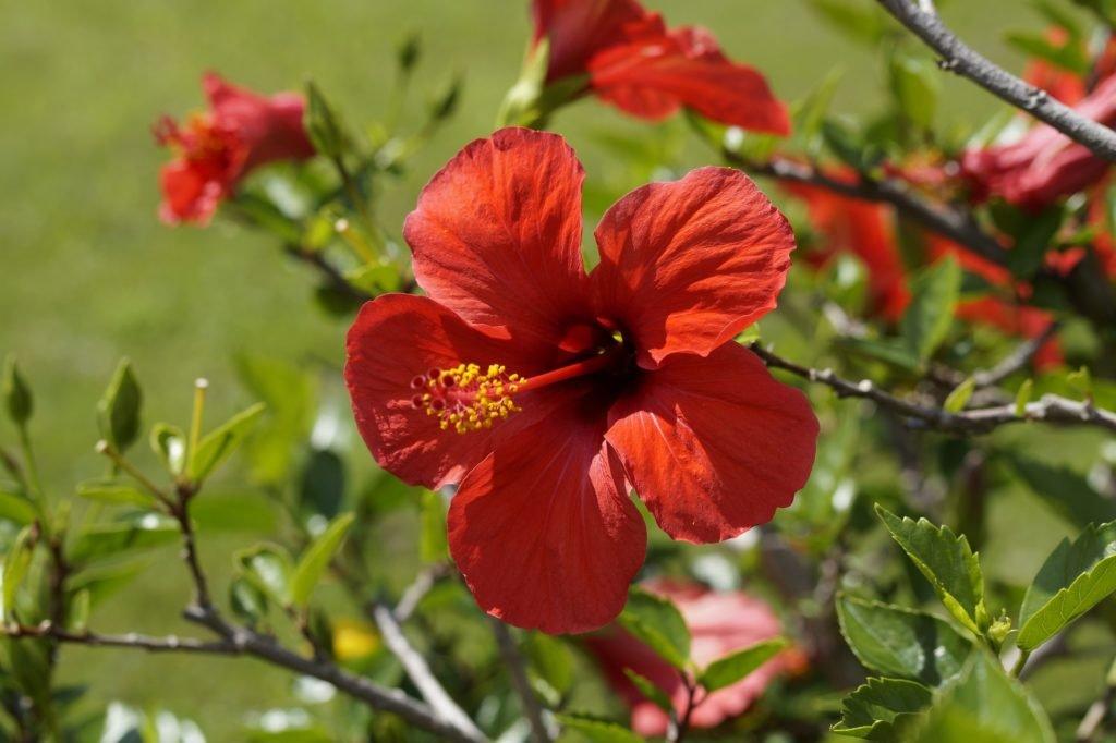Květ Ibišku