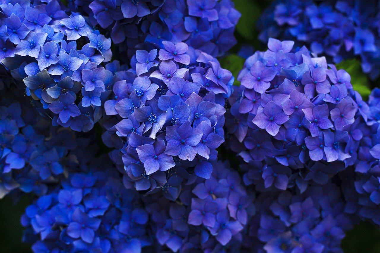 Modře zbarvená hortenzie