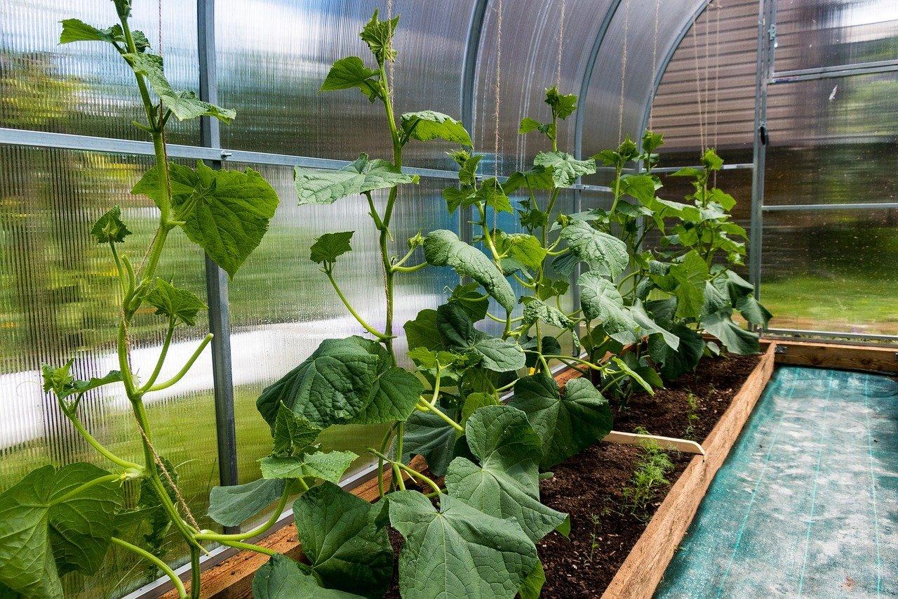 Okurky ve skleníku